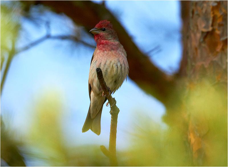 Rosenfink (Common Rosefinch), Tvärvägen, Öland