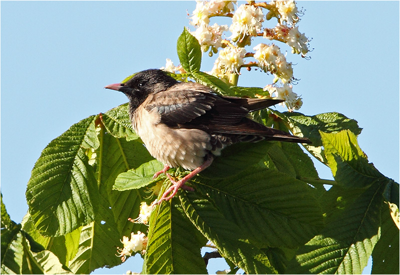 Rosenstare (Rose-coloured Starling), Metesten, Harestad, Bohuslän