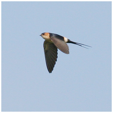 Rostgumpsvala (Red-rumped Swallow), Rethymnon, Kreta