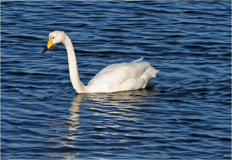 Sångsvan (Whooper Swan), Dotevik, söder om Göteborg