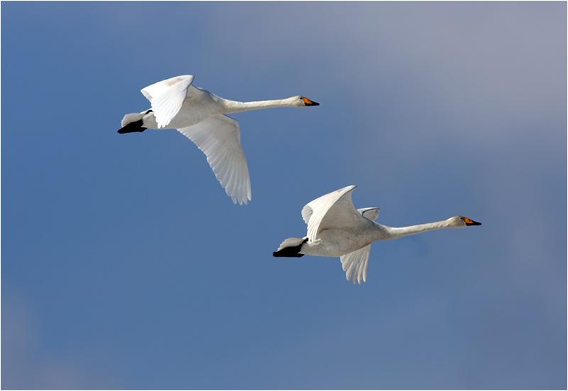 Sångsvan (Whooper Swan), Lis Mosse, norr Falkenberg, Halland