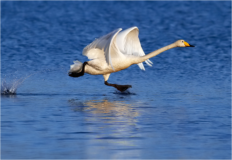 Sångsvan (Whooper Swan), Stora Amundö, söder om Göteborg