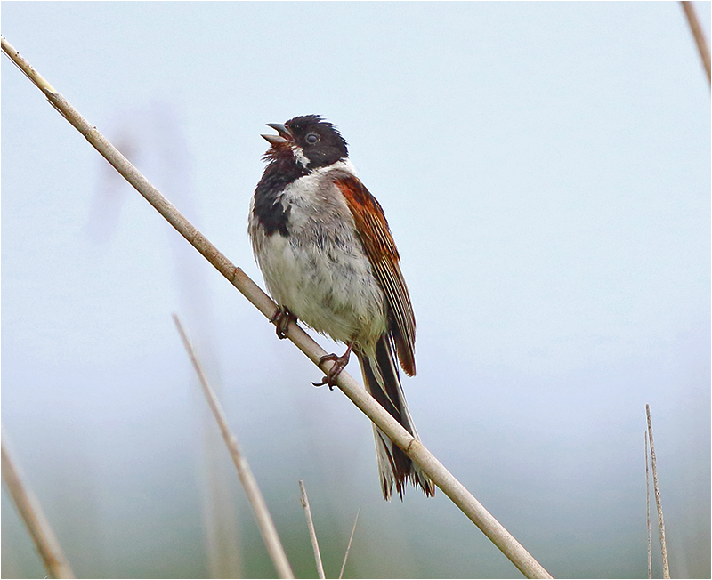 Sävsparv (Reed Bunting), Getteröns naturreservat, Halland