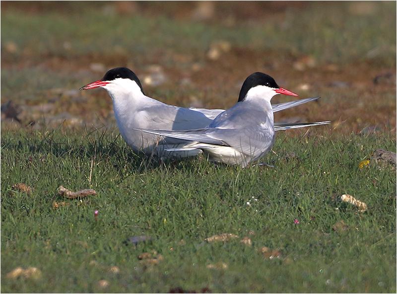 Silvertärna (Arctic Tern), Västerstadsviken, Öland