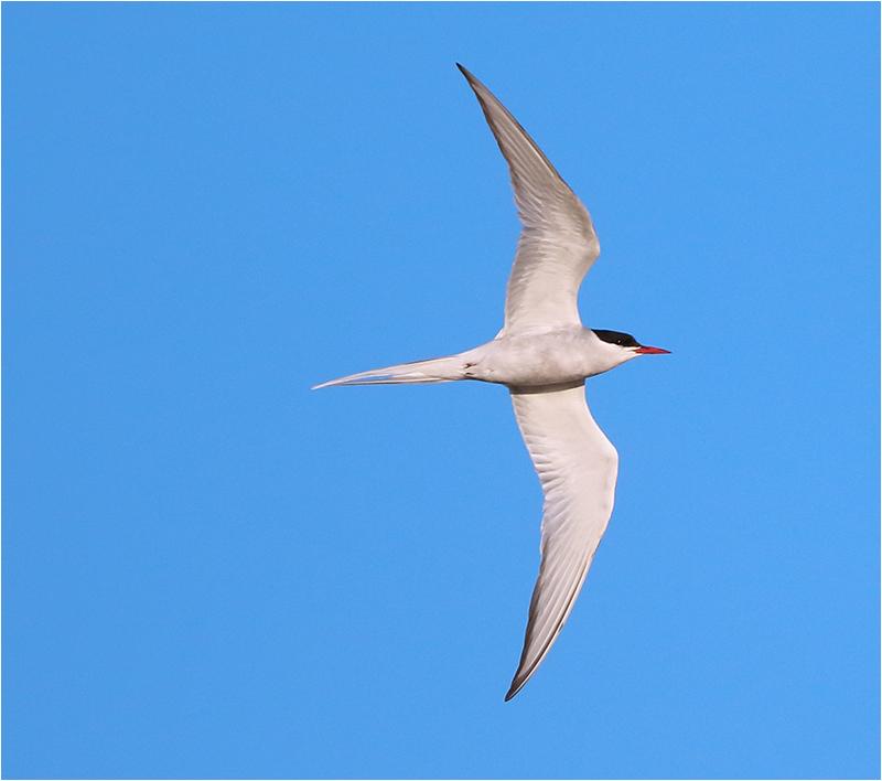 Silvertärna (Arctic Tern), Näsbybadet, Öland