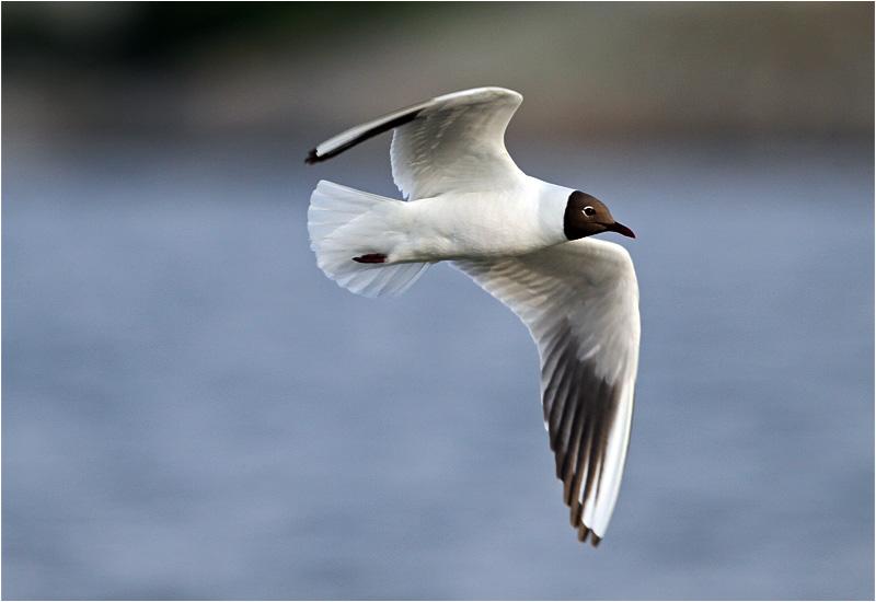 Skrattmås (Black-headed Gull), Stora Amundö, söder om Göteborg