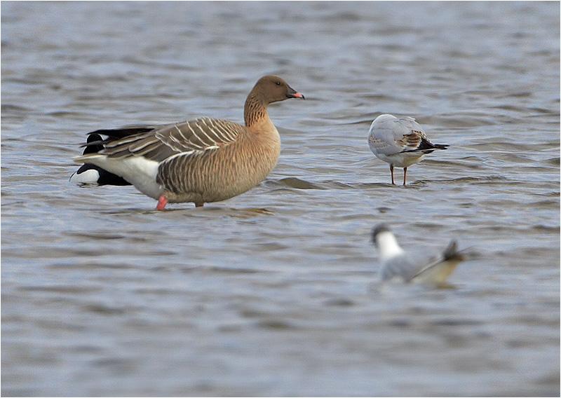 Spetsbergsgås (Pink-footed Goose), Trönnninge Ängar, söder om Halmstad, Halland