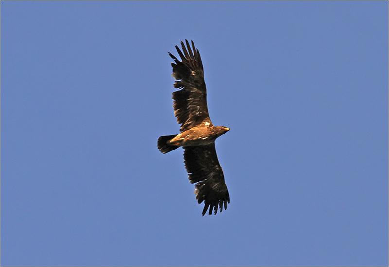 Stäppörn (Steppe Eagle), Södra Möckelby, Öland