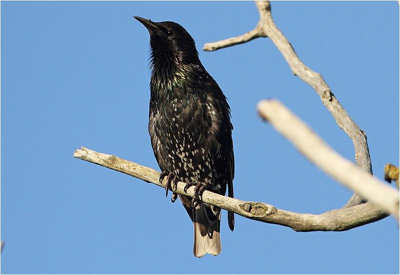 Stare (Common Starling), Ottenby, södra Öland