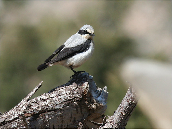 Stenskvätta (Northern Wheatear), Omalosplatån, Kreta