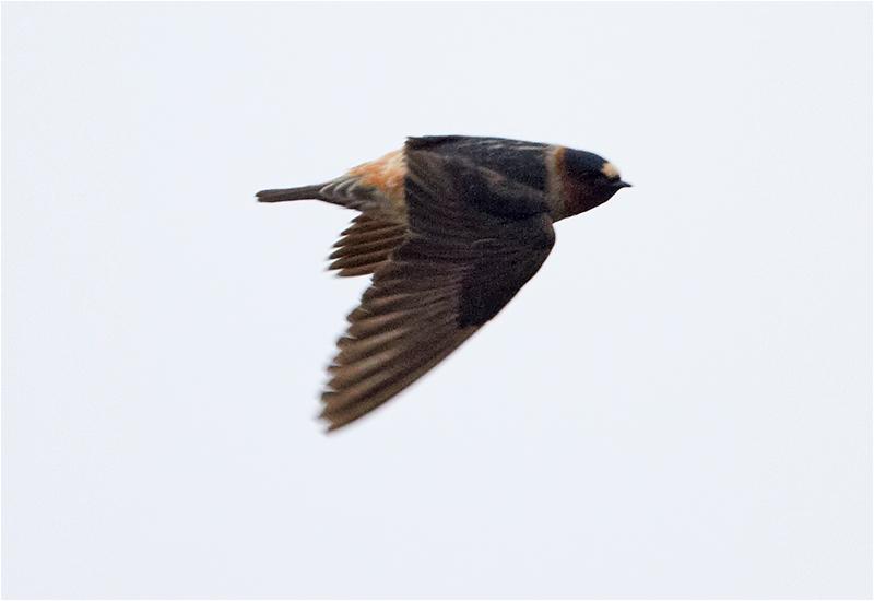 Stensvala (American Cliff Swallow), Bläsinge hamn, Öland