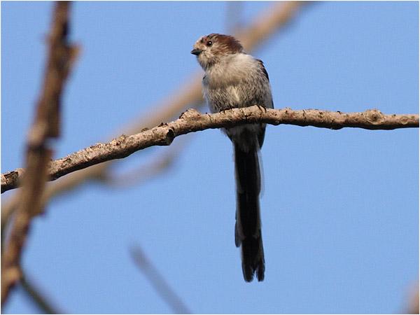 Stjärtmes (Long-tailed Tit), Punta Sabbioni, Italien