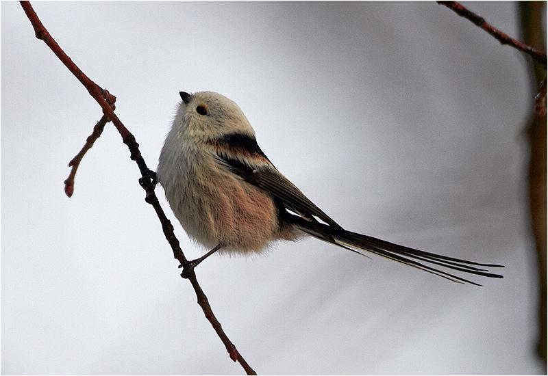 Stjärtmes (Long-tailed Tit), Skintebo, söder om Göteborg