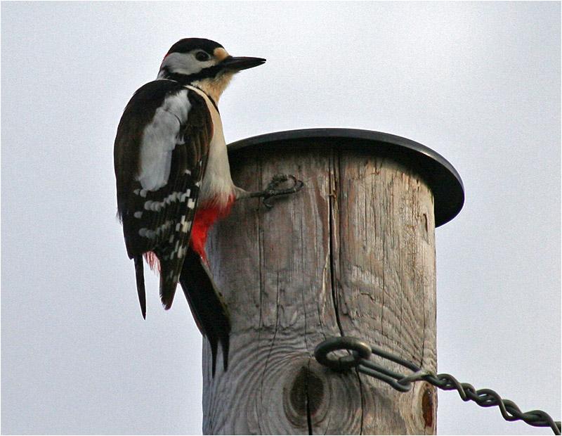 Större hackspett (Great Spotted Woodpecker), Amundövik, söder om Göteborg