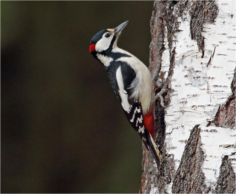 Större hackspett (Great Spotted Woodpecker), Mossbodarna, Borlänge, Dalarna