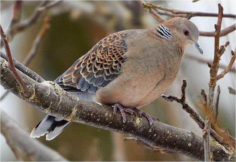 Större turturduva (Orient Turtle Dove), Kålltorp, Göteborg