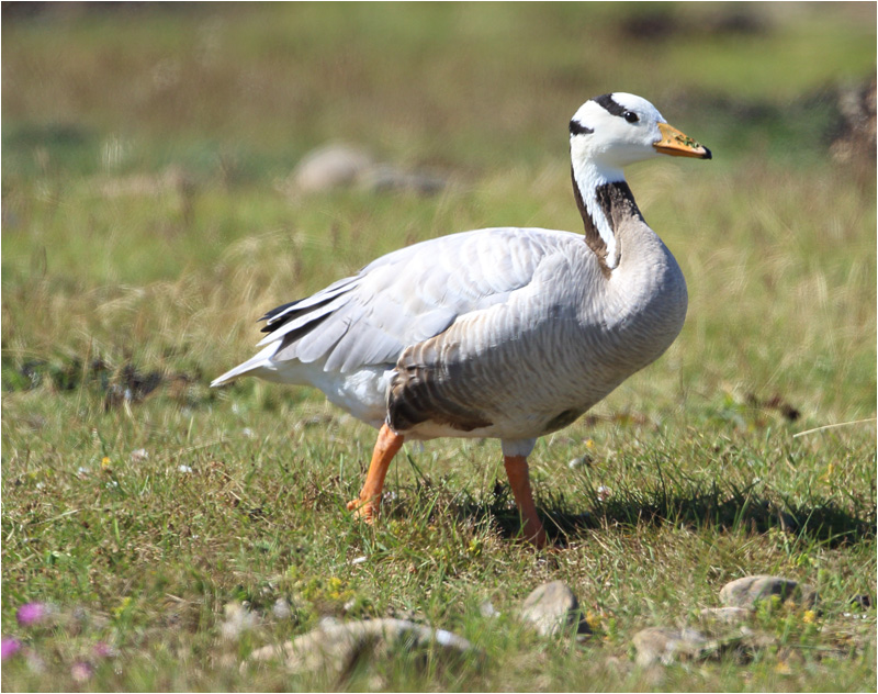 Stripgås (Bar-headed Goose), Morups Tånge, Halland
