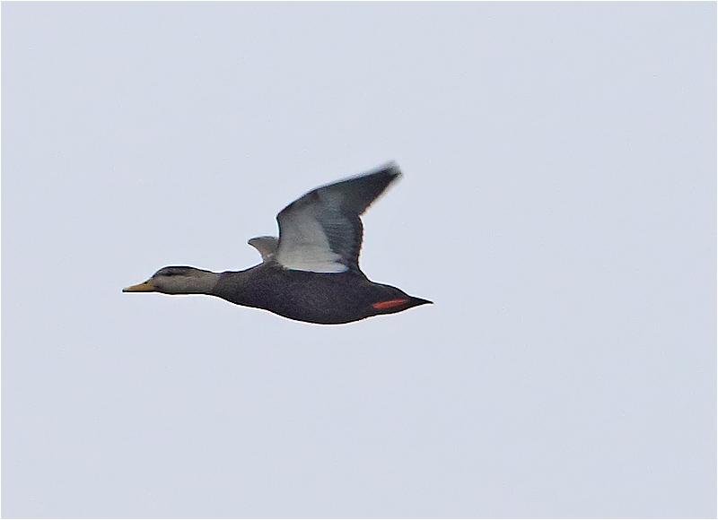 Svartand (American Black Duck), Dagshög, Torekov, Skåne