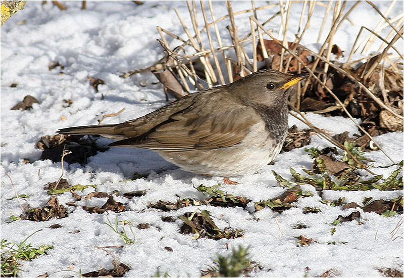 Svarthalsad trast (Dark-throated Thrush), Klågerup, Skåne