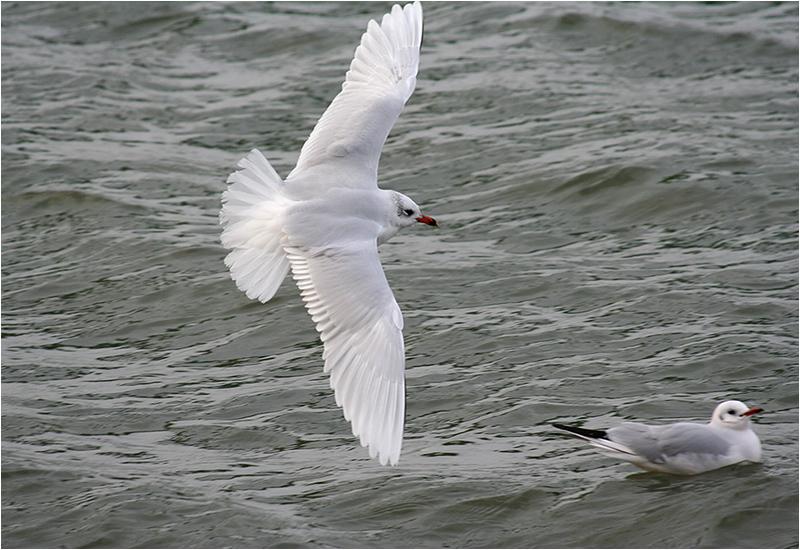 Svarthuvad mås (Mediterranean Gull), Klippan, Göteborg