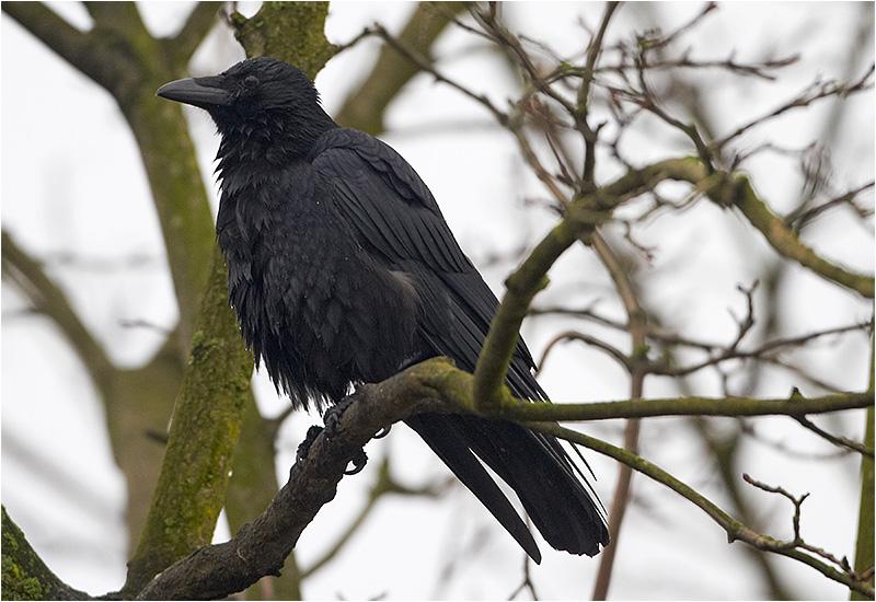 Svartkråka (Crow), Fiskhamnen, Göteborg