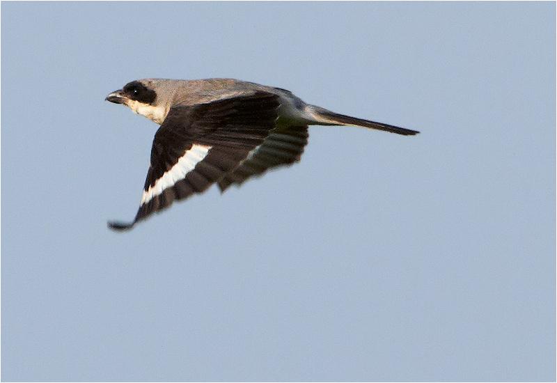 Svartpannad törnskata (Lesser Grey Shrike), Kungsstenarna, Ottenby, Öland