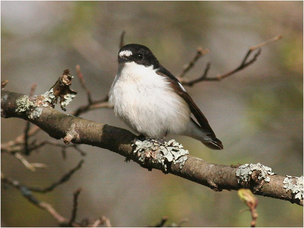 Svart vit flugsnappare (Pied Flycatcher), Lunedet, norr om Karlskoga, Värmland