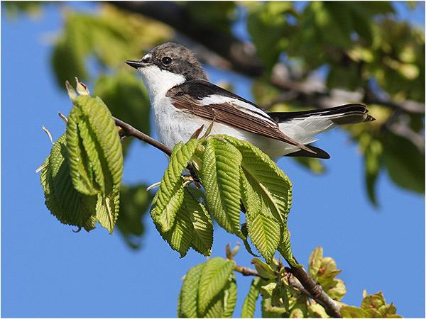 Svart vit flugsnappare (Pied Flycatcher), Ölands Södra Udde, Öland