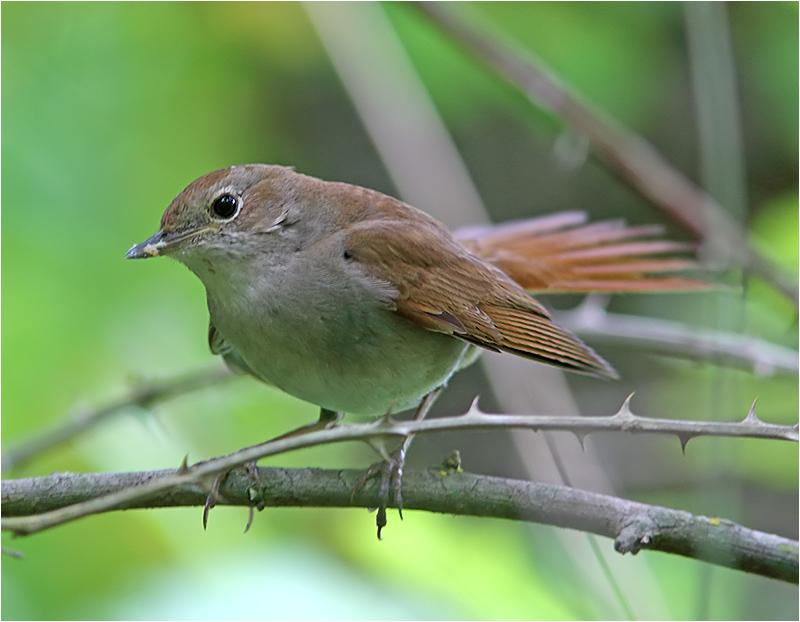 Sydnäktergal (Nightingale), S'Albufera Natural Park, Mallorca