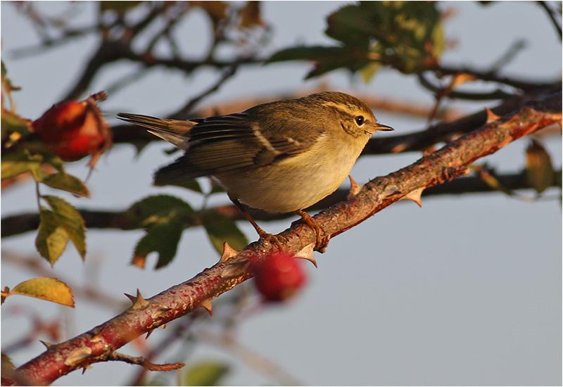 Taigasångare (Yellow-browed Warbler), Stora Amundö, söder om Göteborg