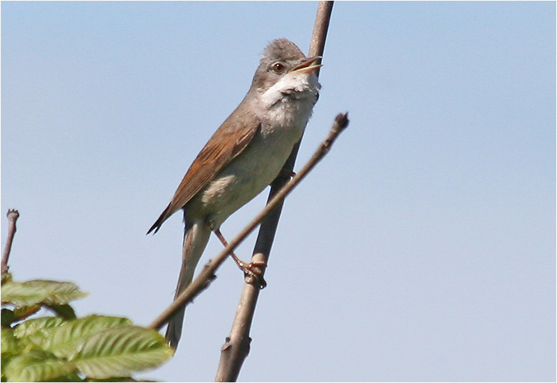 Törnsångare (Common Whitethroat), Ragnhildsholmen, Kungälv