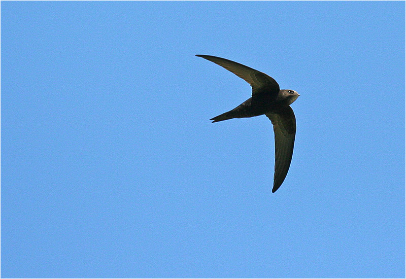 Tornseglare (Common Swift), Rethymnon, Kreta