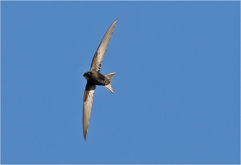 Tornseglare (Common Swift), Svindal, Göteborg