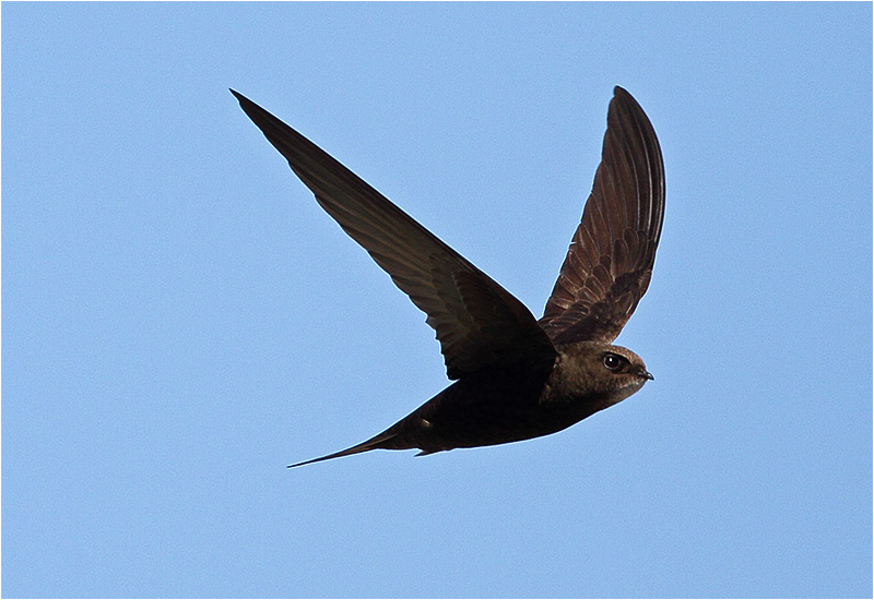 Tornseglare (Common Swift), Sebybadet, Öland