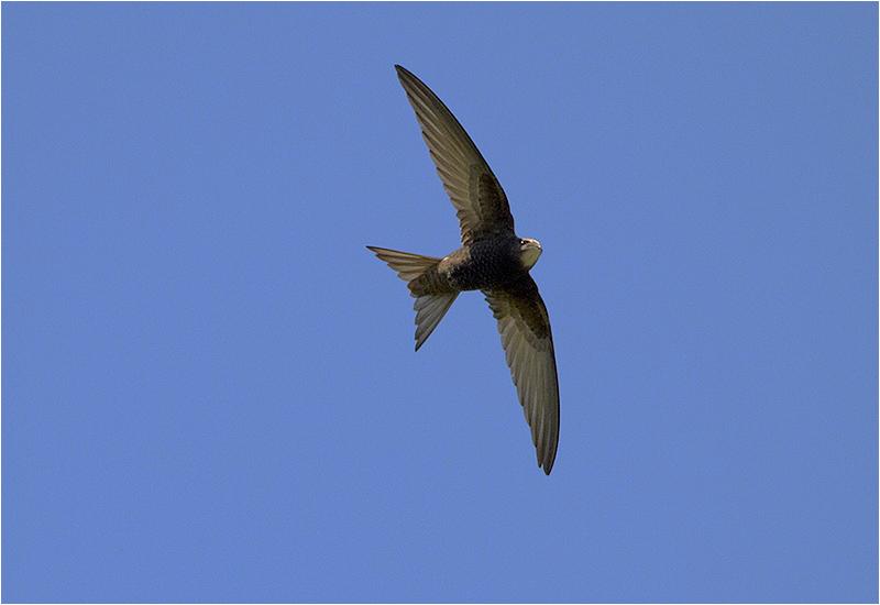 Tornseglare (Common Swift), Ås vandrarhem, Öland