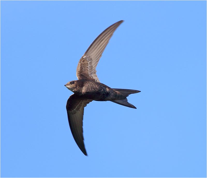 Tornseglare (Common Swift), Ölands Södra Udde, Öland