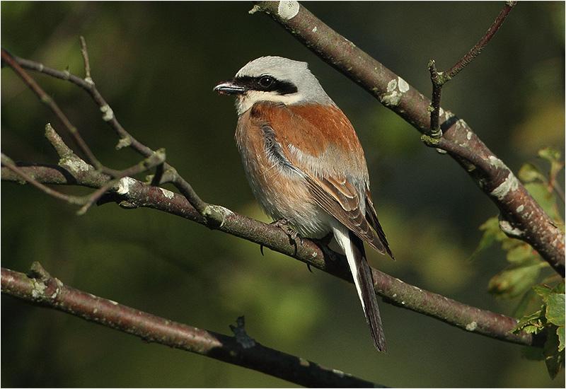 Törnskata (Red-backed Shrike), Tvärvägen Näsby-Parbo Äng, Öland
