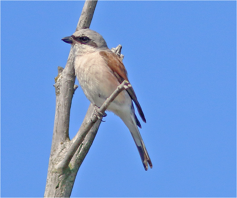 Törnskata (Red-backed Shrike), Morups Tånge, Halland