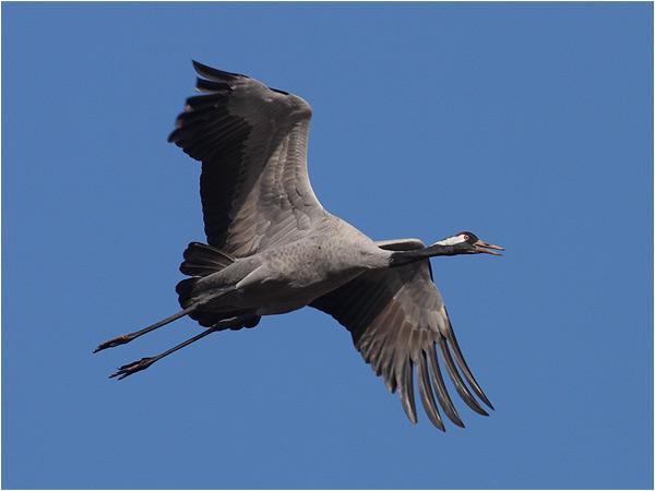 Trana (Common Crane), Hornborgasjön, Västergötland