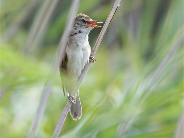 Trastsångare (Great Reed Warbler), Cavallino, Italien