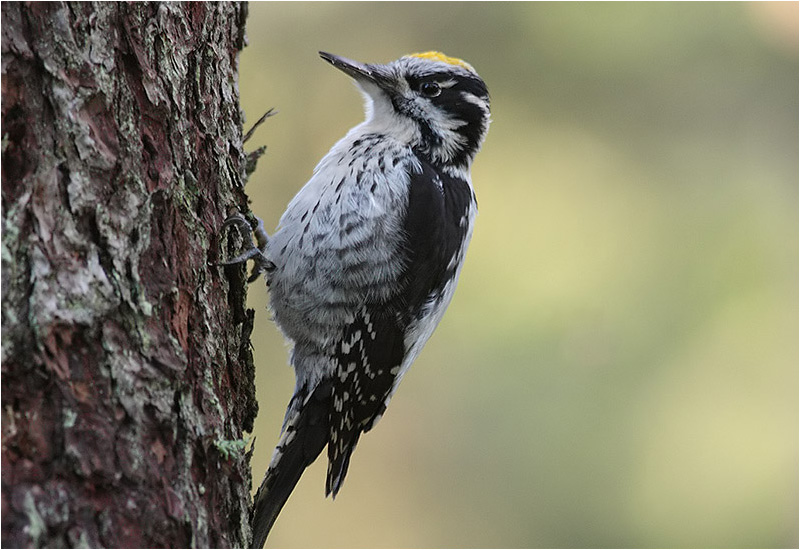 Tretåig hackspett (Three-toed Woodpecker), Klippans naturreservat, Hindås, Västergötland