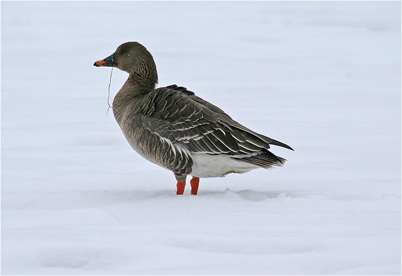 Tundrasädgås (Tundra Bean Goose), Billdals Gård, söder om Göteborg