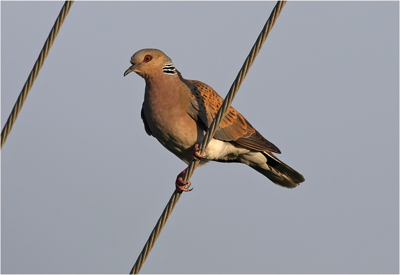 Turturduva (European Turtle Dove), Petra, Lesbos, Grekland