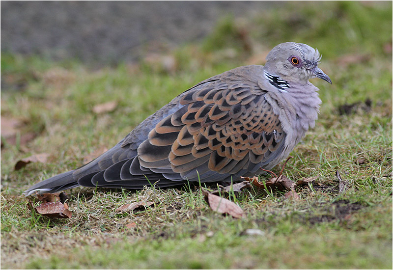 Turturduva (European Turtle Dove), Slätten, Falkenberg, Halland