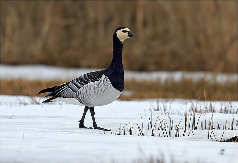 Vitkindad gås (Barnacle Goose), Stora Amundö, söder om Göteborg