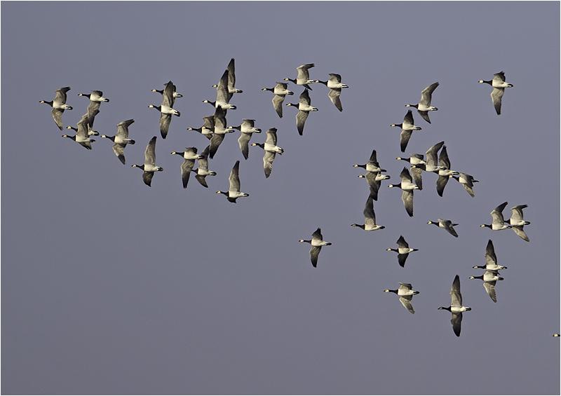 Vitkindad gås (Barnacle Goose), Skanörs Fiskhamn, Skåne
