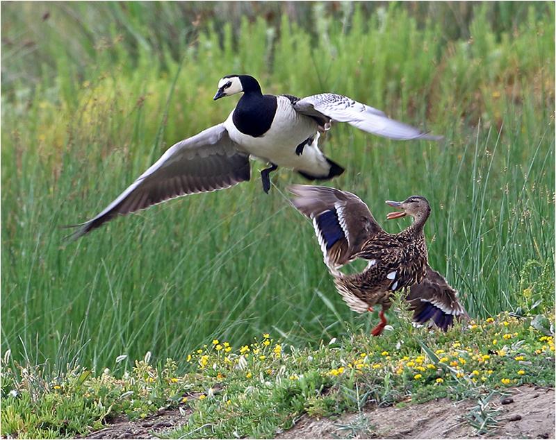 Vitkindad gås (Barnacle Goose), S'Albufera Natural Park, Mallorca
