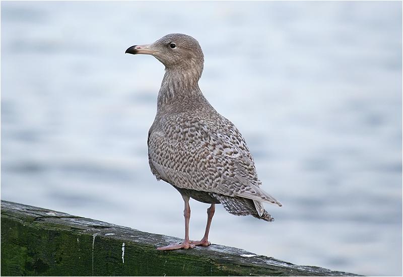 Vittrut (Glaucous Gull), Fiskhamnen, Göteborg