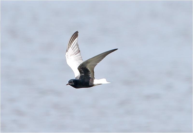 Vitvingad tärna (White-winged Tern), Getteröns naturreservat, Halland