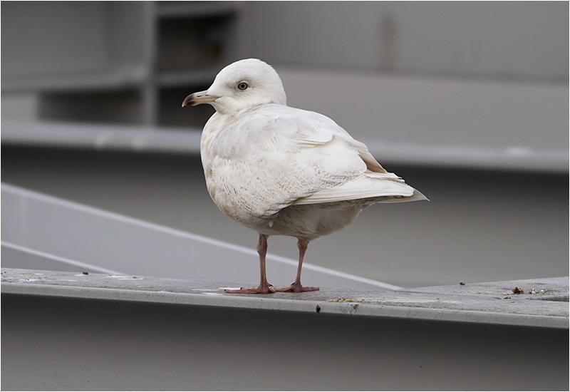 Vitvingad trut (Iceland Gull), Gullbergskajen